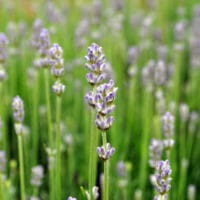 Photo of lavender in a field