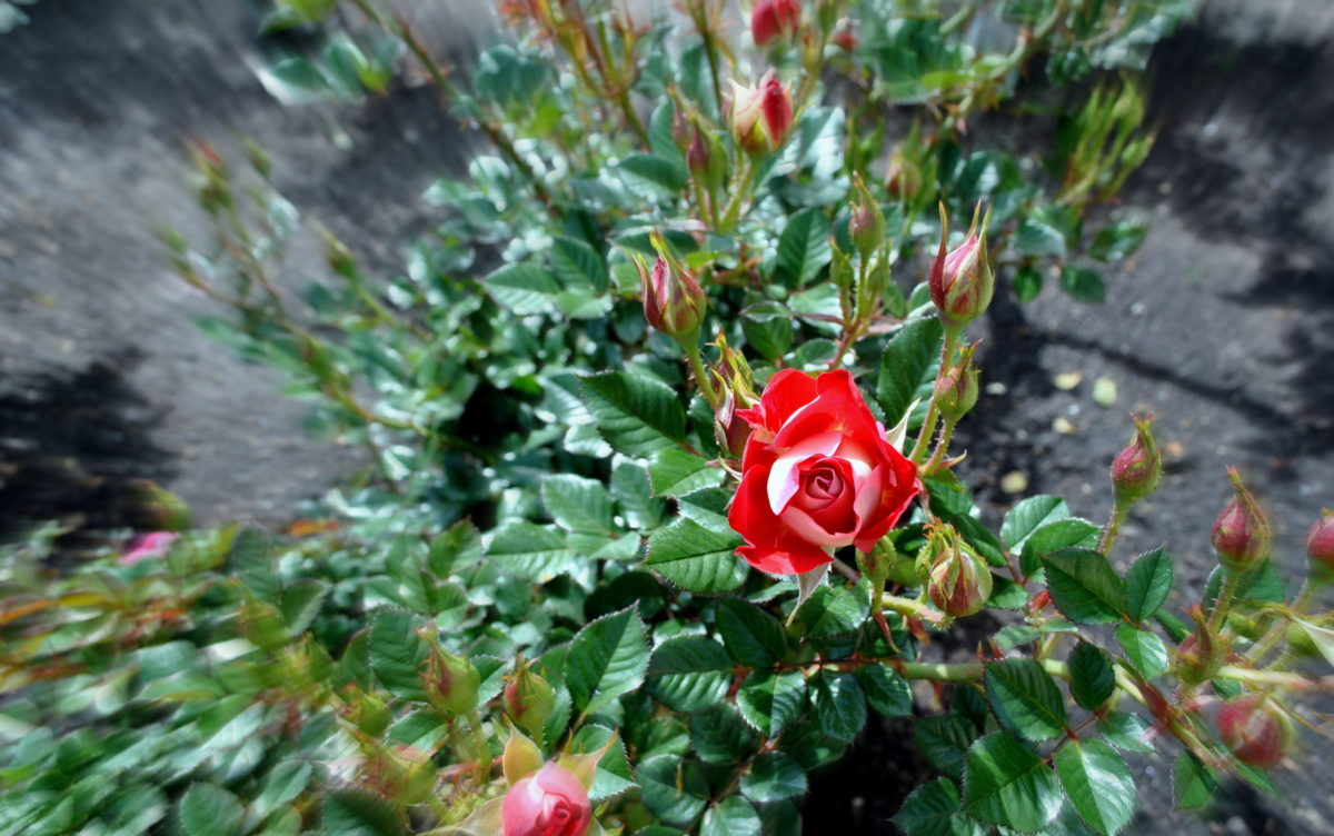 Rose and buds in garden