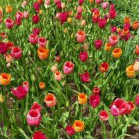 Gibbs Gardens Tulips
